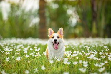 """Pode um cão realmente ser treinado EM um Coronavirus """"Detector""""?"""